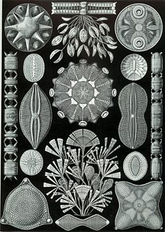 http://upload.wikimedia.org/wikipedia/commons/thumb/e/e9/Haeckel_Diatomea.jpg/240px-Haeckel_Diatomea.jpg