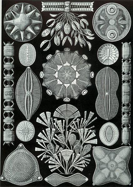 File:Haeckel Diatomea.jpg