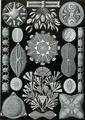 Haeckel Diatomea.jpg