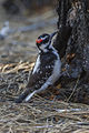 Hairy Woodpecker - Sisters - Oregon S4E6792 (19038774190).jpg