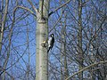 Hairy woodpecker (S St Mary's I) 7.JPG