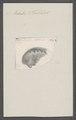 Haliotis philiberti - - Print - Iconographia Zoologica - Special Collections University of Amsterdam - UBAINV0274 081 14 0012.tif