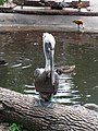 Halle Zoo Pelikan.JPG