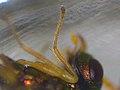Halticoptera laevigata (36155246340).jpg