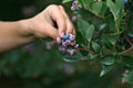 Hand picking blueberries.jpg