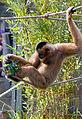 Hanging Gibbon (3917643194).jpg