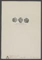Haplocrinus mespiliformis - - Print - Iconographia Zoologica - Special Collections University of Amsterdam - UBAINV0274 007 02 0064.tif