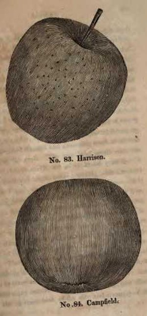 Harrison Cider Apple - Illustration of Harrison and Campfield cider apples