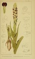 Harry Bolus - Orchids of South Africa - volume III plate 084 (1913).jpg