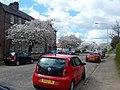 Helensburgh Cherry Blossom in West Princes Street April 2018 DSCN1021.jpg