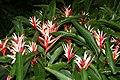 Heliconia angusta 4zz.jpg