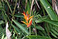 Heliconia psittacorum 18zz.jpg
