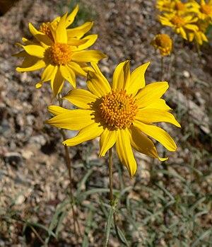 Heliomeris - Heliomeris multiflora var. nevadensis