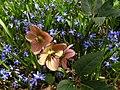 Helleborus nigerstern.jpg