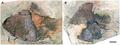 Hemicalypterus weiri - holotype.png