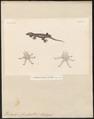 Hemidactylus frenatus - 1700-1880 - Print - Iconographia Zoologica - Special Collections University of Amsterdam - UBA01 IZ12300073.tif
