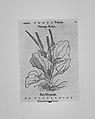 Herbarum vivae eicones MET MM3462.jpg
