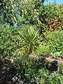 Herbs, Cordyline australis, Ribes... (8080002120).jpg