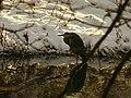Heron - panoramio (5).jpg