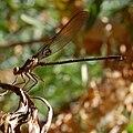 Hetaerina americana-Male-4.jpg