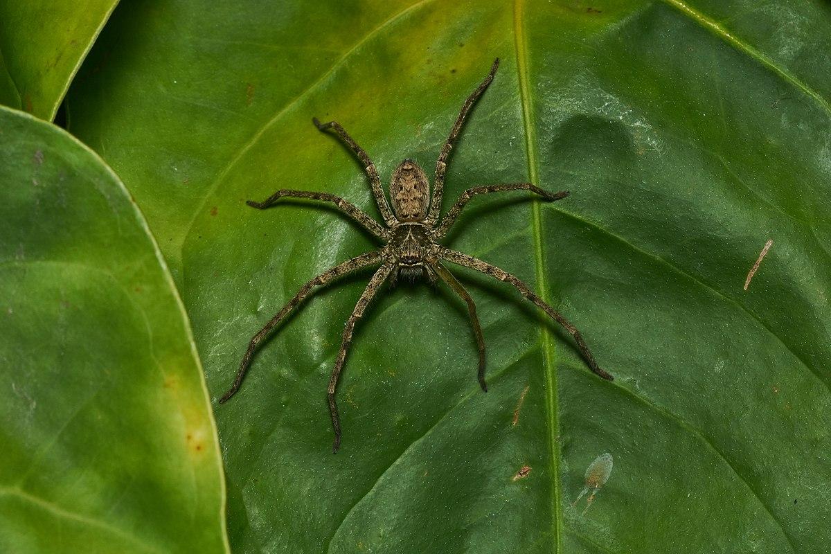 Giant hawaiian cane spider wiki