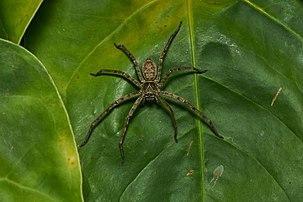 Aranha-caranguejo (Heteropoda venatoria), uma espécie de aranha da família Sparassidae com uma distribuição pantropical. (definição 6000×4000)