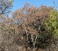 Heteropyxis natalensis, winter, Eugene Marais Park.jpg