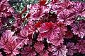 Heuchera 'Berry Smoothie' at RHS Garden Hyde Hall, Essex, England 02.jpg