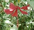 Hibiscus rosa-sinensis3 ies.jpg