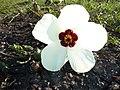 Hibiscus trionum, blom, c, Springbokvlakte.jpg