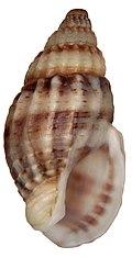 Hinia (= Nassarius) reticulata (Linné, 1758) (4646885957).jpg