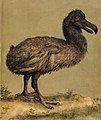 Hoefnagel dodo.jpg
