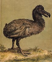 Painting of a slender, brownish Dodo