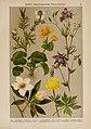 Hoffmann-Dennert botanischer Bilderatlas (Taf. 38) (6425001519).jpg