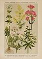 Hoffmann-Dennert botanischer Bilderatlas (Taf. 74) (6425020709).jpg