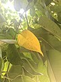 Hoja amarilla de Citrus Limón.jpg