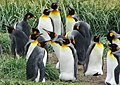Holding onto eggs King Penguin Colony Tierra del Fuego Chile.jpg