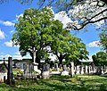 Hollabrunn - Enzersdorf im Thale - ND HL-019 - Winterlinden am Friedhof - 1.jpg