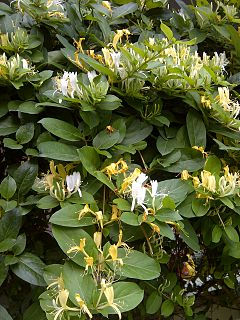 <i>Lonicera japonica</i> Flowering shrub known as Japanese honeysuckle