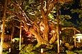 Hosen-in, Goyo-no-matsu (Pinus Parviflora) -1 (November 2014) - panoramio.jpg