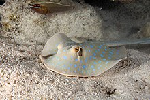 Photo of a stingray moving over the sand near a Cardinalfish in an aquarium