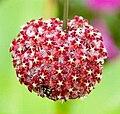 Hoya mindorensis.jpg
