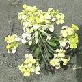 HumboldtBayWallflower.png