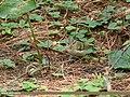Hume's Warbler (Phylloscopus humei) (38285810621).jpg
