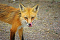 Hungry Fox (7469171770).jpg