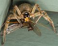 Huntsman spider Olios giganteus eating crane flies (1).jpg