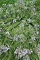 Hyacinthoides hispanica in Jardin des Plantes 01.jpg