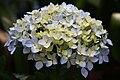 Hydrangea flowers - Nilagiri.jpg