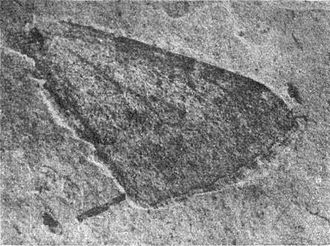 1922 in paleontology - Hydriomena? protrita holotype