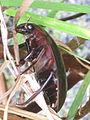 Hydrophilus piceus (Great Silver Water Beetle), Arnhem, the Netherlands.jpg